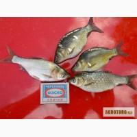Элитный рыбопосадочный материал (Малек)
