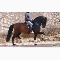 Продажа андалузский лошадей
