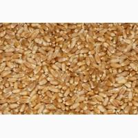 Пшеница продовольственная сорт Ирень 4 класс