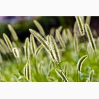 ООО НПП «Зарайские семена» продает семена тимофеевки оптом и в розницу