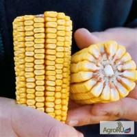 Семена кукурузы ДКС 440 ФАО350
