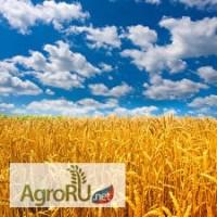 Семена Озимой пшеницы Лебедь