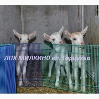 Козочки из тройни, от удойной козы