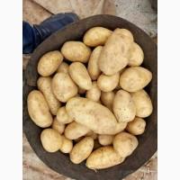 Молодой картофель урожай 2018, Египтет