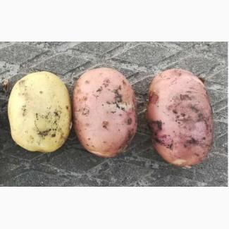 Молодой картофель от производителя