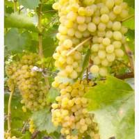 Виноград сорта Султана