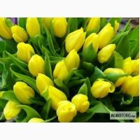 Срезка тюльпанов от производителя