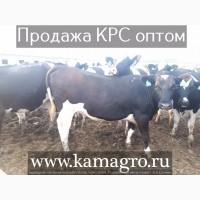 Продажа племенных нетелей КРС Голштинизация 99%