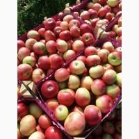 Яблоки оптом от производителя 50+ 57 р/кг