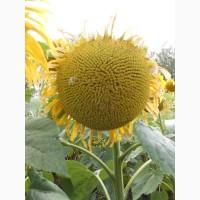 Семена подсолнечника гибрид Оптимум