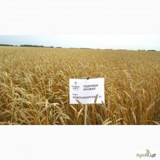 Пшеница яровая сорт «Новосибирская 31»