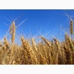 Продаем пшеницу 3 класса