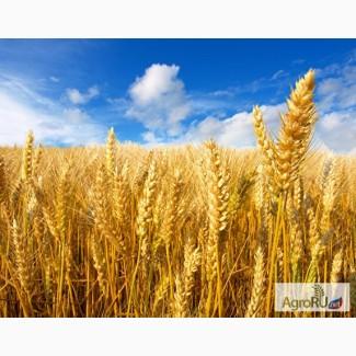 Семена Озимой пшеницы Виктория 11