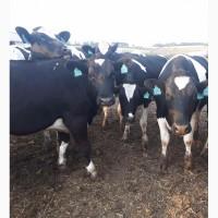 Коровы Голштинофризы