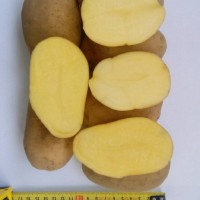 Реализуем качественный картофель оптом