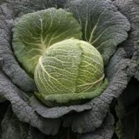 Семена капусты савойской Виратоба