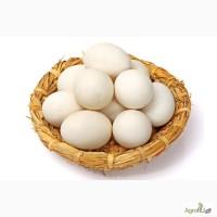 Гусиные инкубационные яйца в Башкирии. Сезон 2017