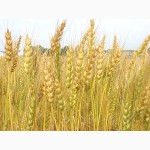 Продажа пшеницы 5 класса (фураж)