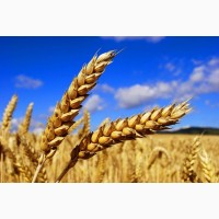 Пшеница 3 - 5 класс