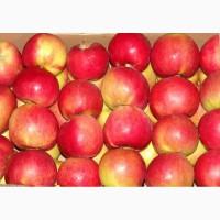 Яблоки оптом сорт Моди, Пуджа, Голдон, Семеринко, Айдаред, гибрид Семеренко-Пуджа
