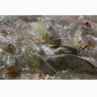 Куплю оптом живую рыбу