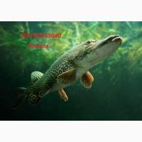 Речная рыба. Живая рыба. Свежая рыба