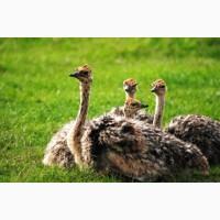 Страусята африканского страуса. Страус и Ко