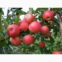 Сочные яблоки высшего сорта Интенсив