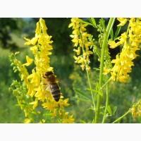 ООО НПП «Зарайские семена» реализует семена донника желтого оптом и в розницу