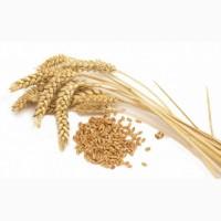 Продаем Пшеницу 3, 4 и 5 класса