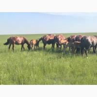 Лошади (кобылки, жеребята)