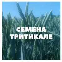 Продам семена озимой тритикале на посев