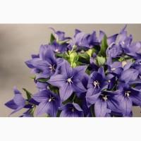 Семена цветка Платикодон