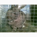Продам кроликов породы немецкий ризен