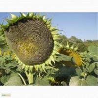 Гибриды семена подсолнечника Пионер ПР63ЛЕ10, ПР63ЛЕ25 - Express