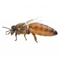 Пчелиные матки кордован, бакфаст, карника, карпатка