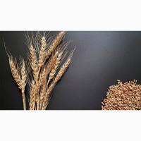 Семена озимой пшеницы Алексеич, Еланчик, Гурт, Таня, Юка, Юбилейная-100 и др