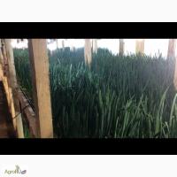 Очищенный зеленый лук