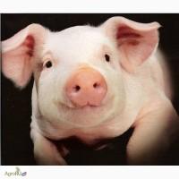 Корм для свиней экструдированный