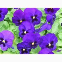 Семена цветов Виола крупноцветковая
