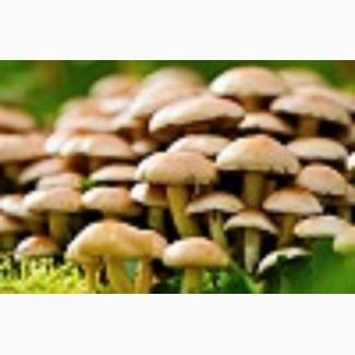 Грибной мицелий опят летних и зимних