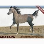 Продается арабская кобылка АВАТАРА