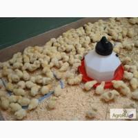Цыплята бройлеров КОББ-500. Дешево