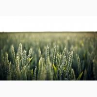 Семена озимой пшеницы сорт Алексеич