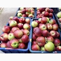 Яблоки Беш Юлдуз оптом по выгодным ценам от надежного поставщика