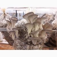 Продаем грибы свежие Вешенки