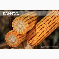 Семена гибрида кукурузы Кайфус