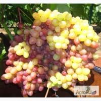 Саженцы и черенки винограда достойных сортов