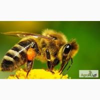 Пчёлы-Пчелопакеты