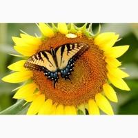 Гибриды семена подсолнечника НК Неома, Тристан, Санай устойчивых к гербициду Евролайтинг